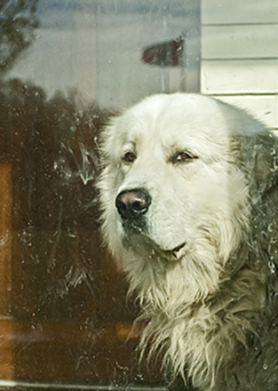 sad white dog looking out window